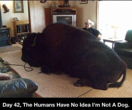 Buffalo Dog